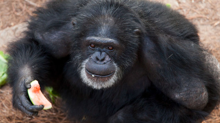 Some of NIH's chimpanzees will not retire to a sanctuary as planned