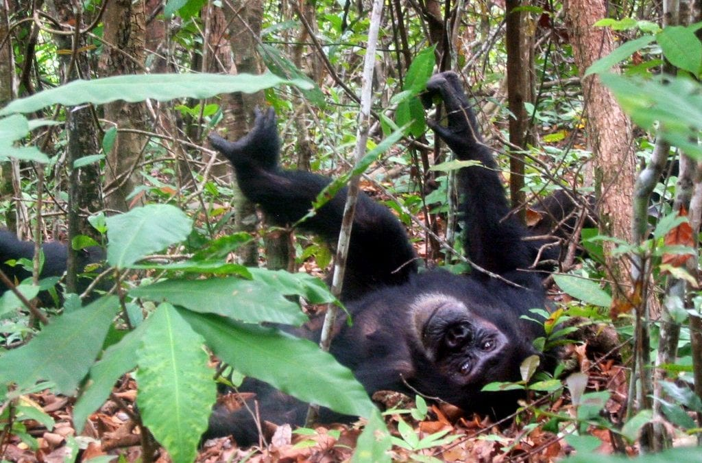 Wild and Captive Chimpanzees Share Personality Traits With Humans