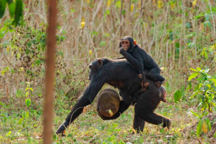 Chimpanzees and people are clashing in rural Uganda