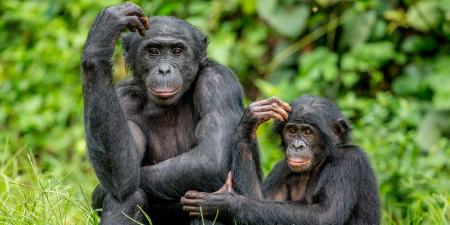 """Theory of Mind"": A 41-year-old question about ape intelligence may finally be answered"