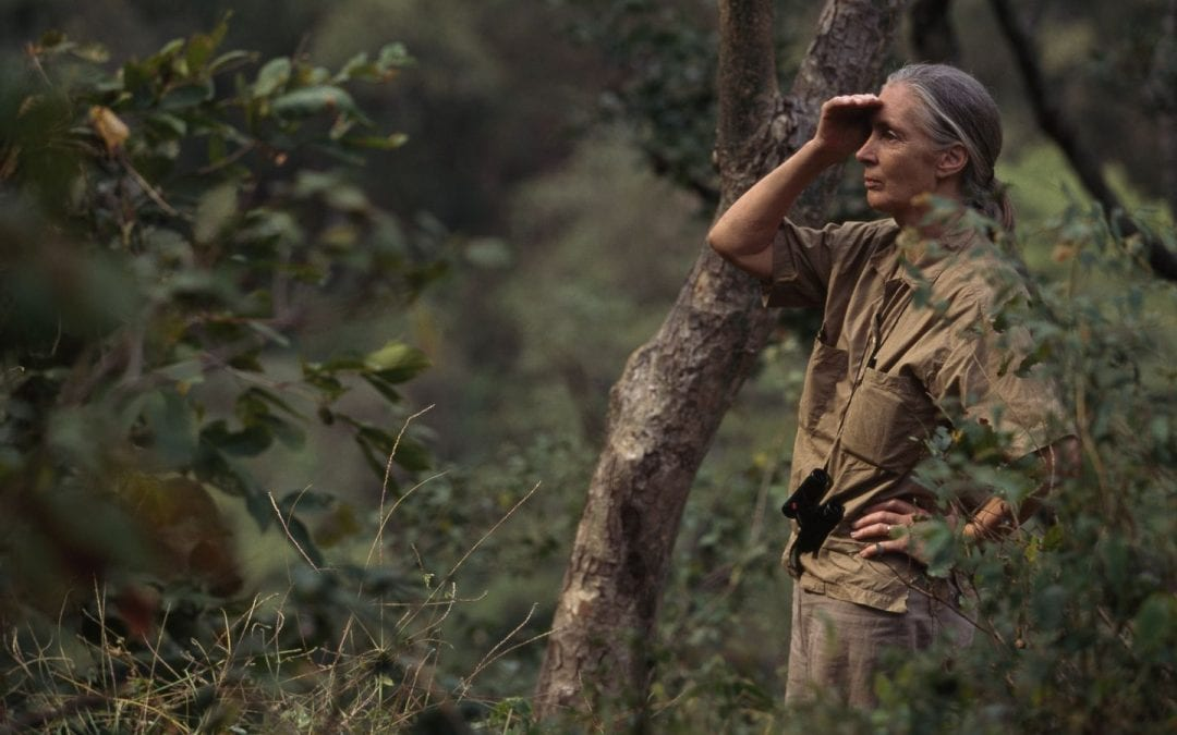 Exhibition explores how famed primatologist gave us new ways to understand chimpanzees — and ourselves