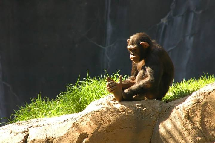 Apes and monkeys have an awareness of death, performing grieving rituals and mourning the deceased, study suggests