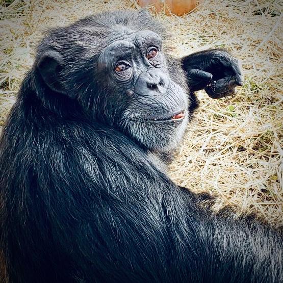 Jenny chimp