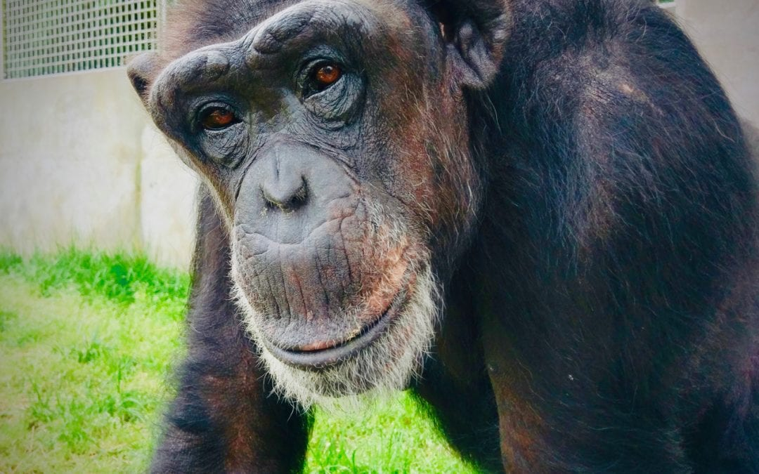 'We have to do right by them' Rescue center misses fundraising during pandemic, but offers Primate Pal Program for those who want to help