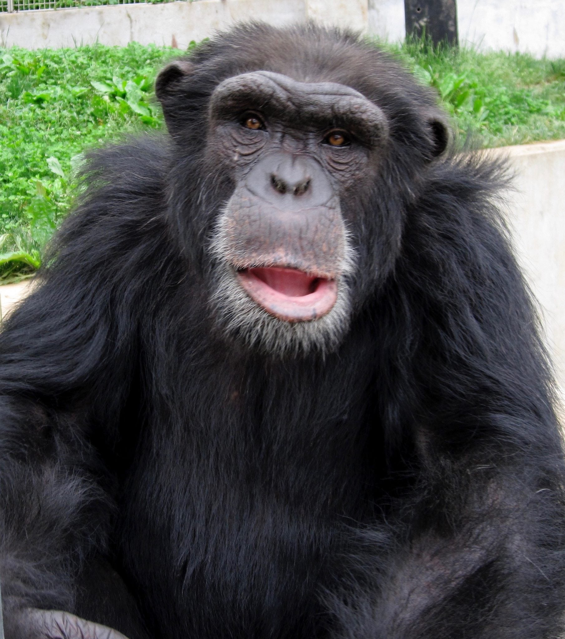05-19-20102-Rodney-Chimpanzee-copy