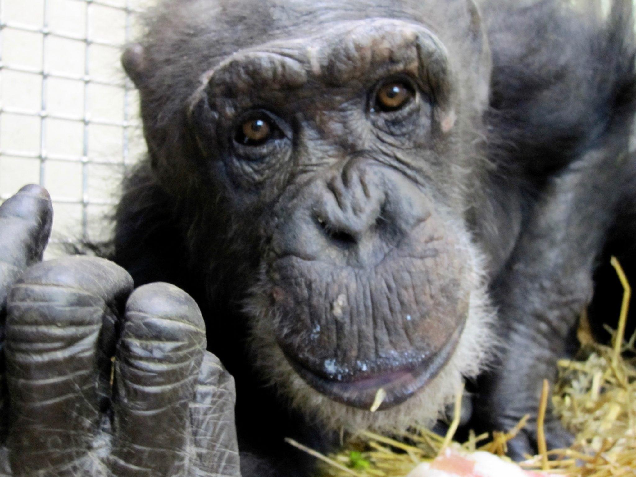 02-06-2010-Zulu-Chimpanzee