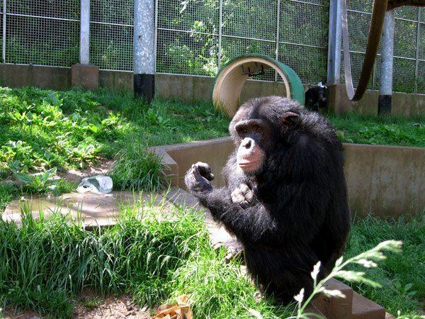 chimpsIkeIMG_0641
