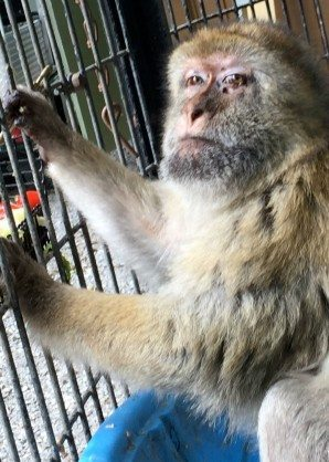 Las Vegas Zoo Barbary Macaques