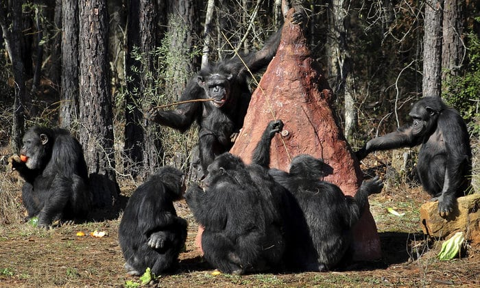 Too Frail To Retire? Humans Ponder The Fate Of Research Chimps