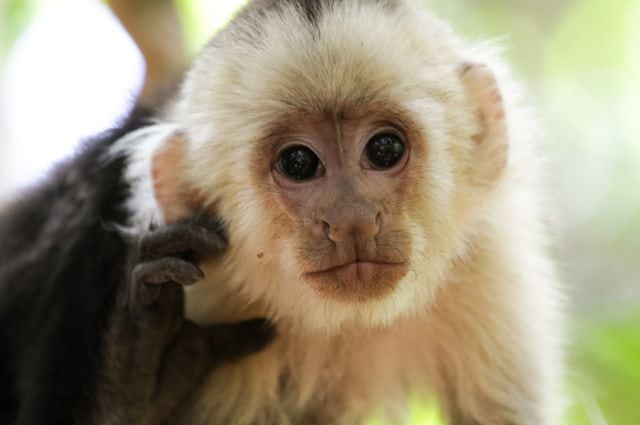 Website lets people experience a day in the life of a capuchin monkey