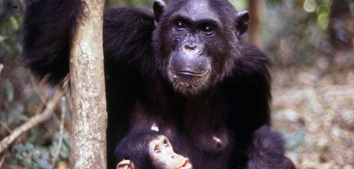 "Do chimpanzees know how to say or show ""thank you""?"