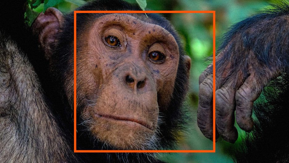 Facial recognition for chimps searches the internet for stolen baby apes