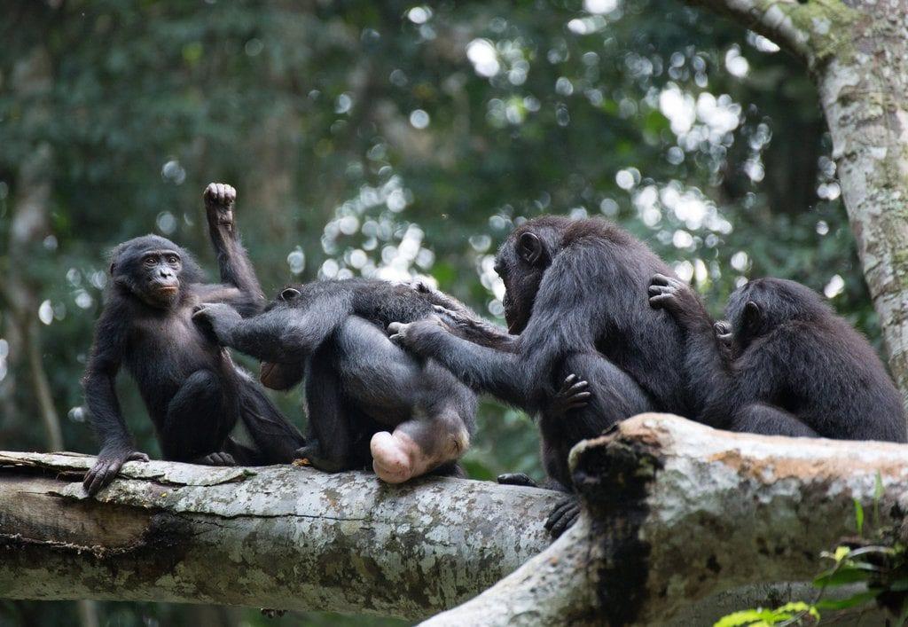 In the Bonobo World, Female Camaraderie Prevails