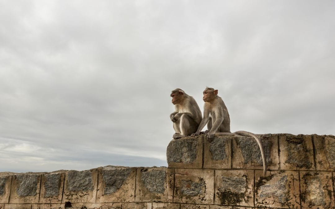 How AI is helping track the growing monkey population in India
