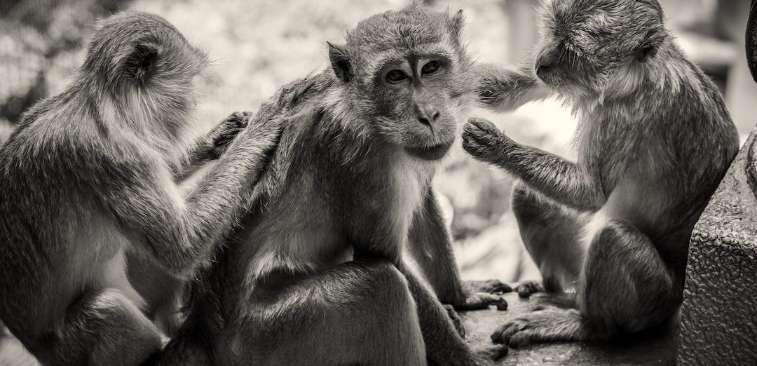 The Desire for Friendship Runs Deeper in Primates Than We Thought