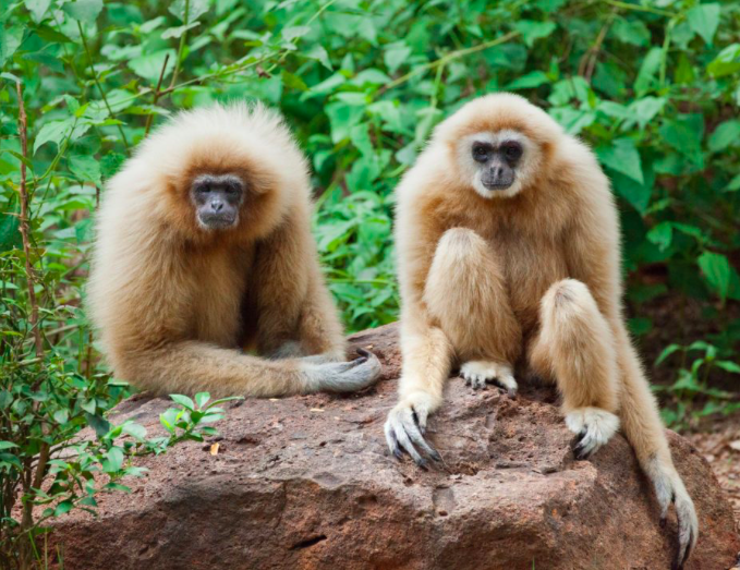 Why do some primates live in pairs?
