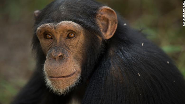 The UN wants to protect these chimps' unique culture