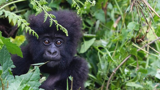 Coronavirus: Great apes on lockdown over threat of disease