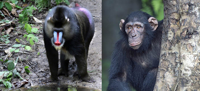 CHIMPS, HUMANS, AND MONKEYS: WHAT'S THE DIFFERENCE?