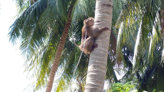 Supermarkets snub coconut goods picked by monkeys