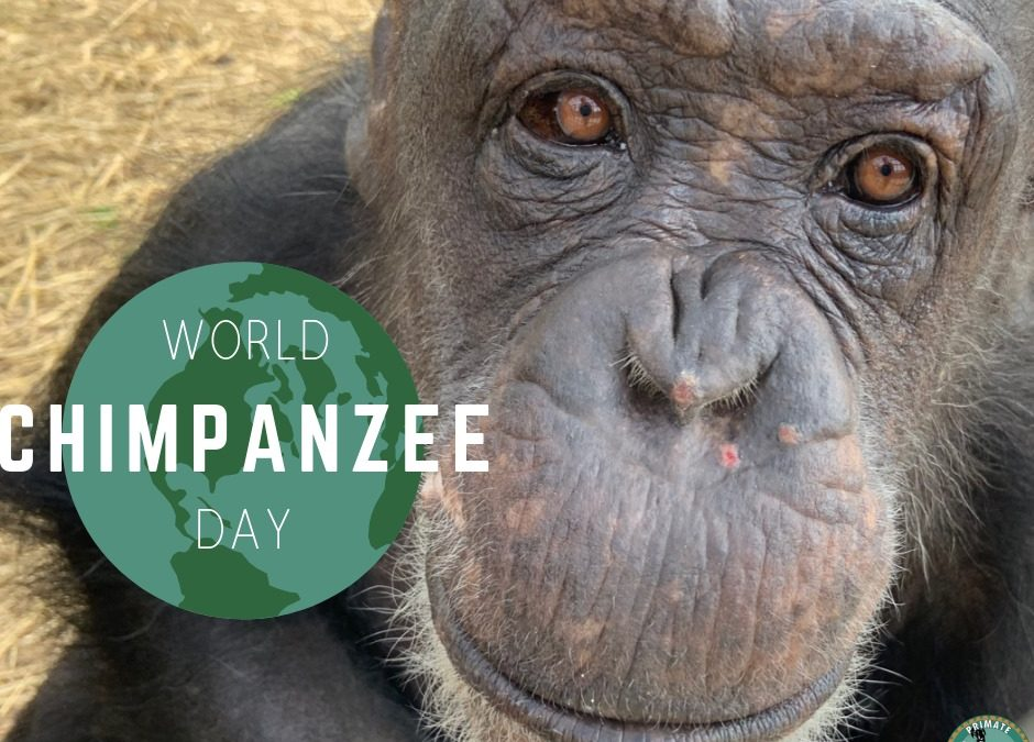 Happy World Chimpanzee Day!