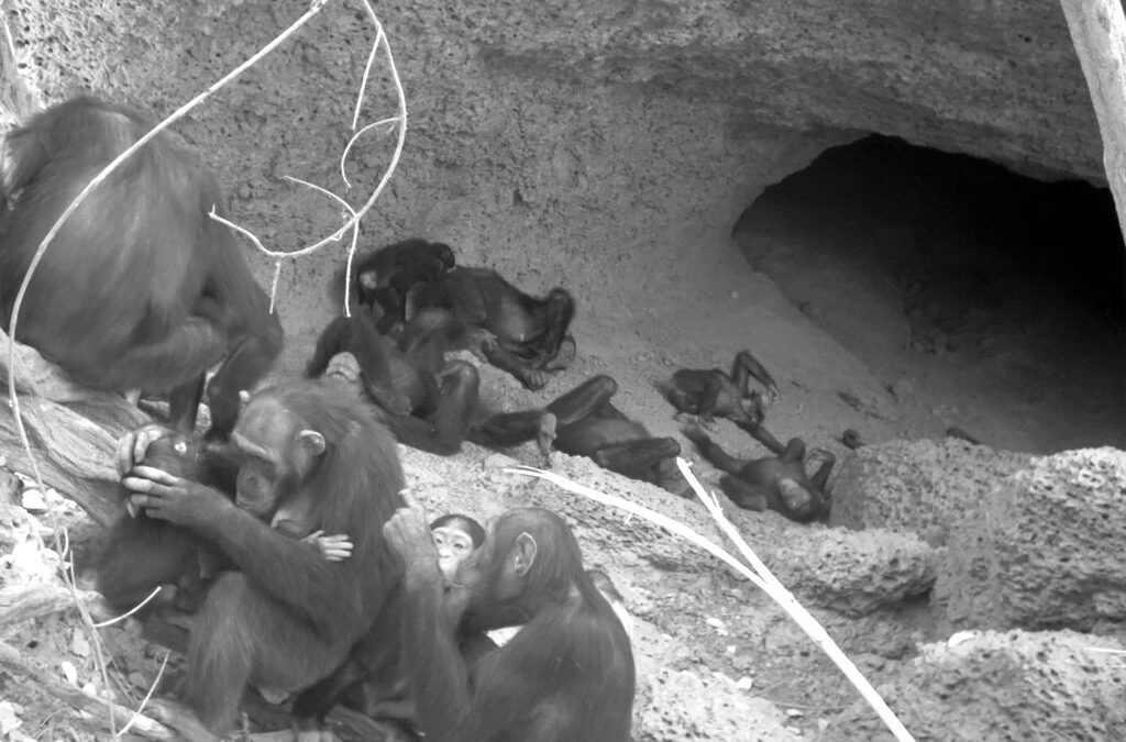 Why Chimp Moms Flock to Caves on the Savanna
