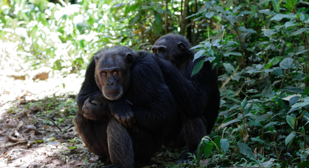 Primate Vocalizations Are Much More Than Gibberish