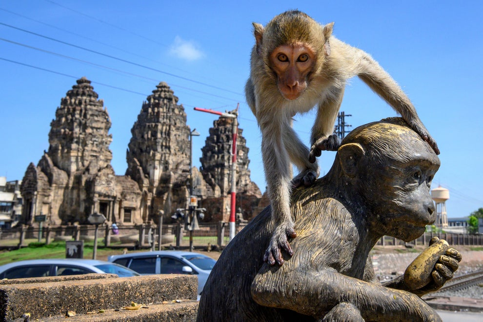 'The monkeys were here before us': Once revered, macaques are now taking over a city in Thailand