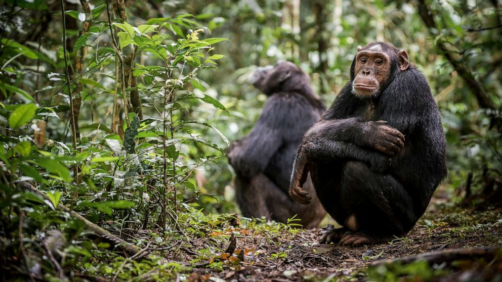 Scientists see signs of chimpanzees being able to adapt to climate change