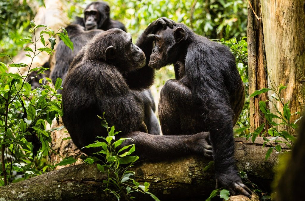 No Grumpy Old Men in the World of Chimps