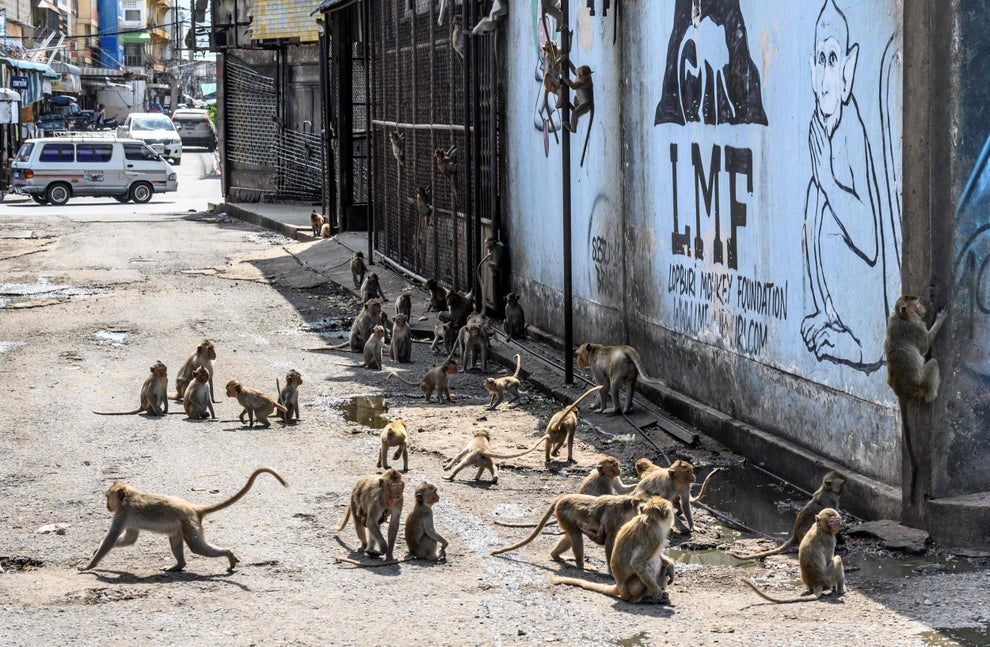 Thai vets perform mass sterilisation on violent monkey population in ancient city