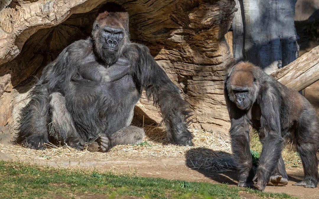 Captive gorillas test positive for coronavirus