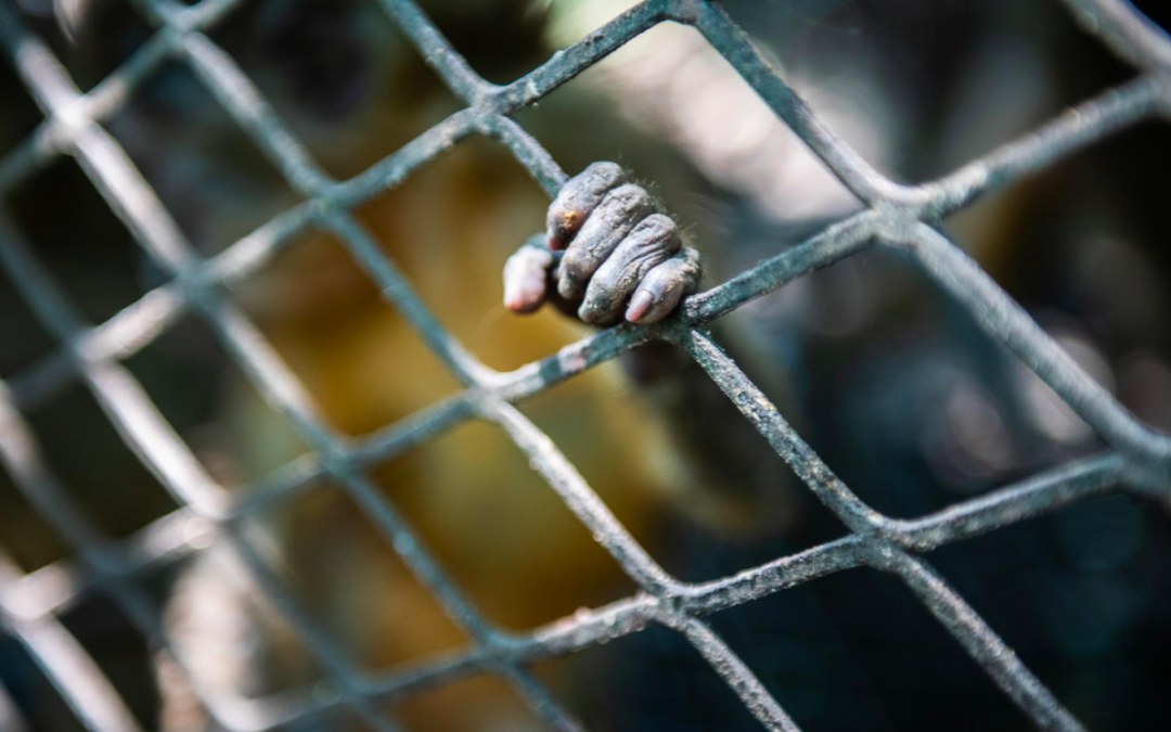 Largest confiscation of smuggled monkeys sheds light on African trafficking network