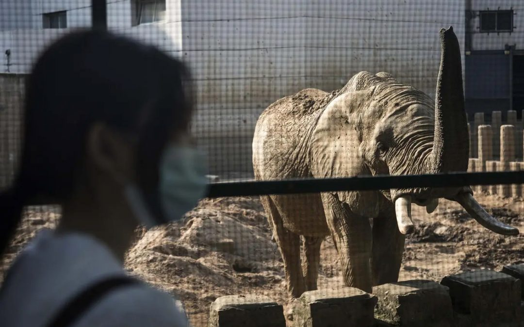 South Africa traffics thousands of endangered wild animals to China in 'corrupt and growing' trade, investigation finds