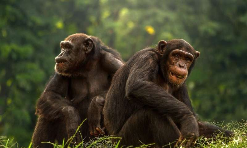 Chimp deaths at Sierra Leone sanctuary linked to a bacterium