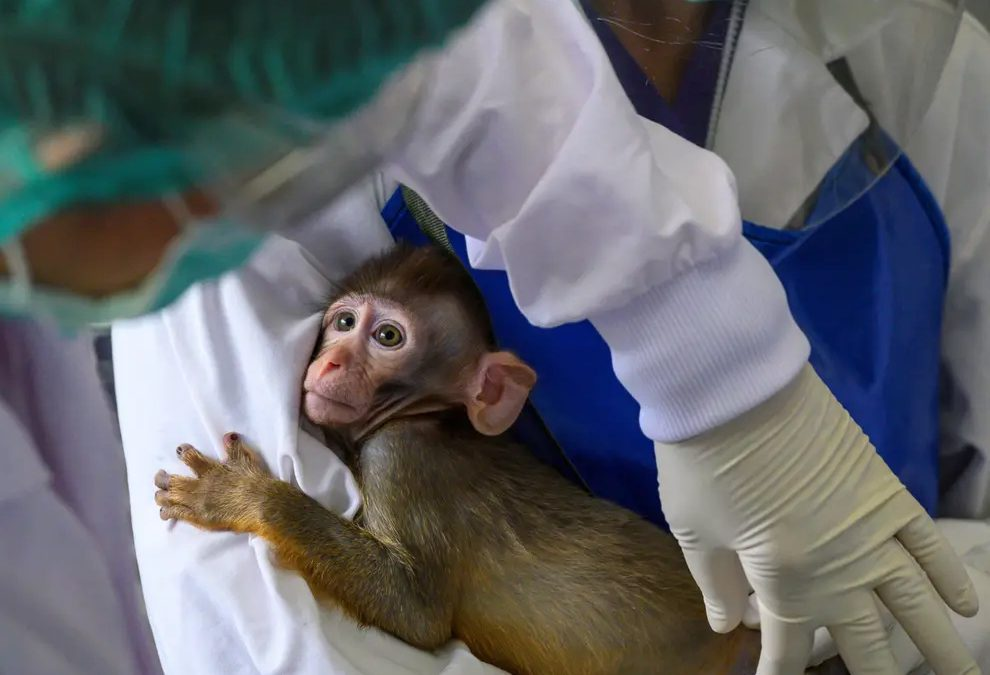 US plan to breed 10,000 monkeys a year for medical experiments means industrial farming of primates, say critics
