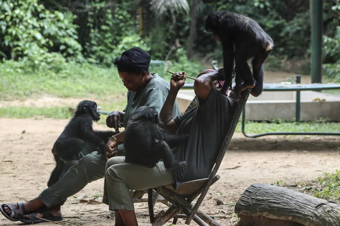 Saving Endangered Bonobos Teaches A Lesson In Empathy